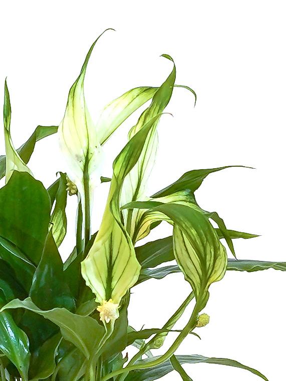 Spathiphyllum Chopin Bingo Indoor Plants Flowering Plants