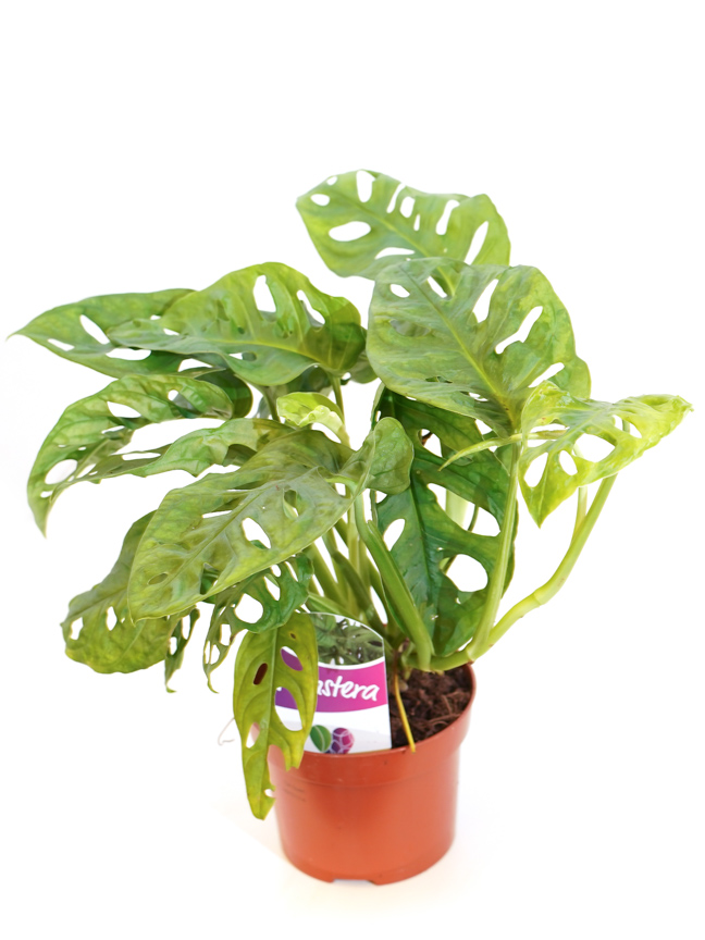 Monstera Monkey Mask Indoor Plants Shrubs
