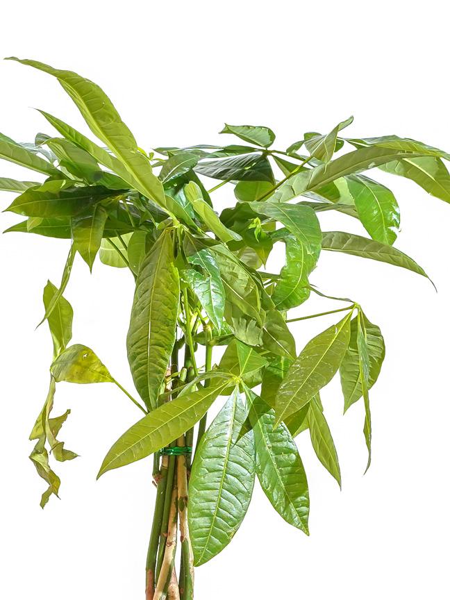 باشيرا 'نباتات داخلية أشجار