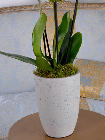 White Orchid Concrete  Indoor Plants Flowering Plants