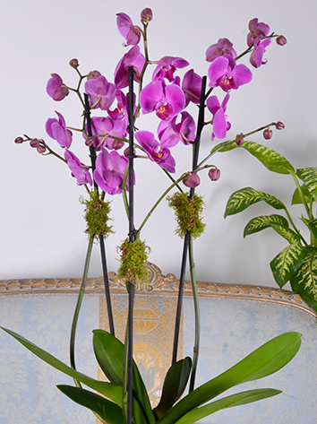 orchid purple concrete Indoor Plants Flowering Plants