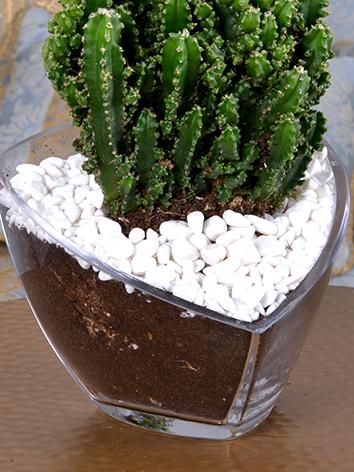 صبار بري 'نباتات للمكاتب نباتات و أواني