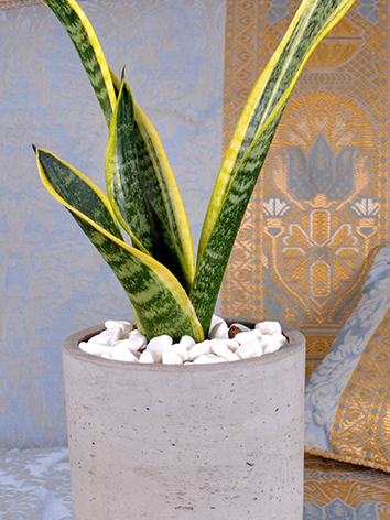 Mini Sansevieria Concrete  Indoor Plants Succulent