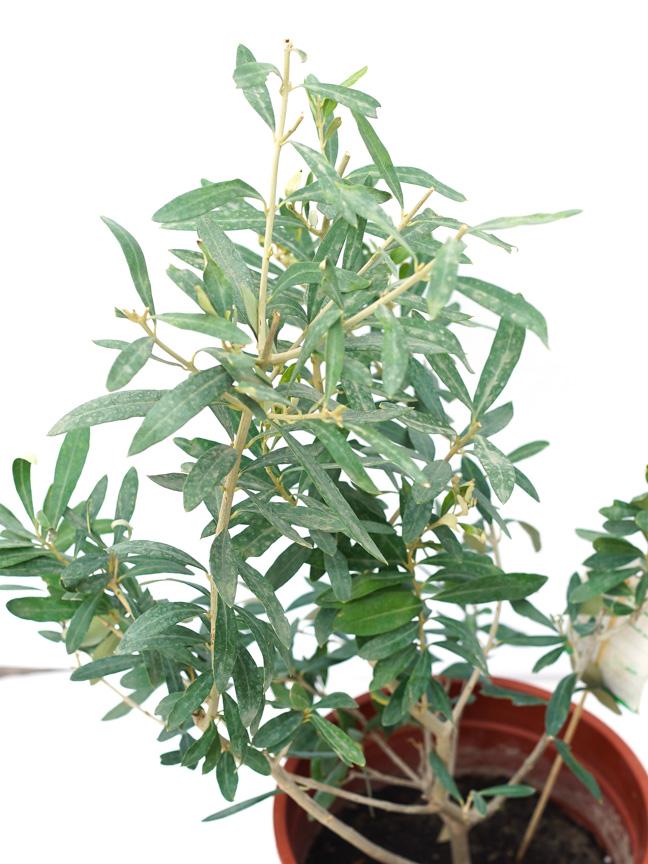 زيتون كثيف نباتات خارجية اشجار