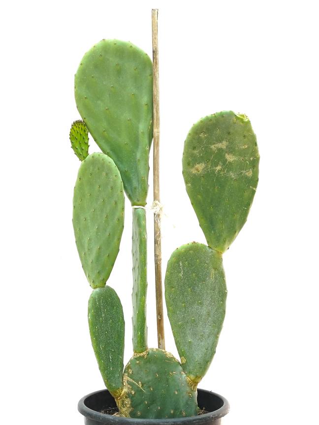 Euphorbia Candelabrum Optunia Large 'Outdoor Plants Succulent