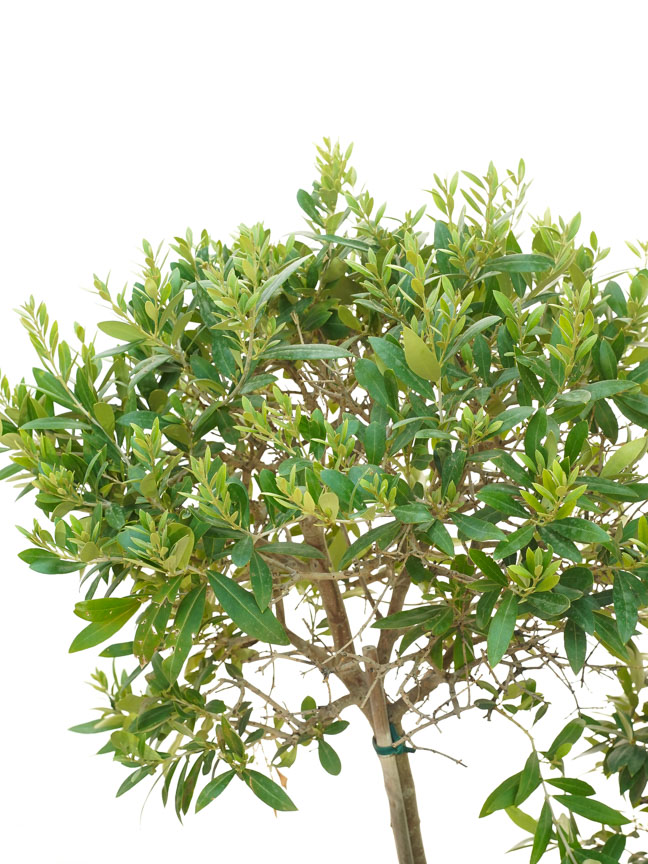 Olive 4pp Ball Outdoor Plants Trees