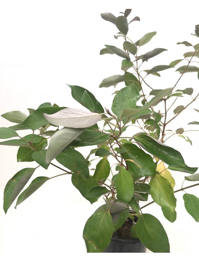 كابوريوم بنفسجي نباتات خارجية النباتات المزهرة