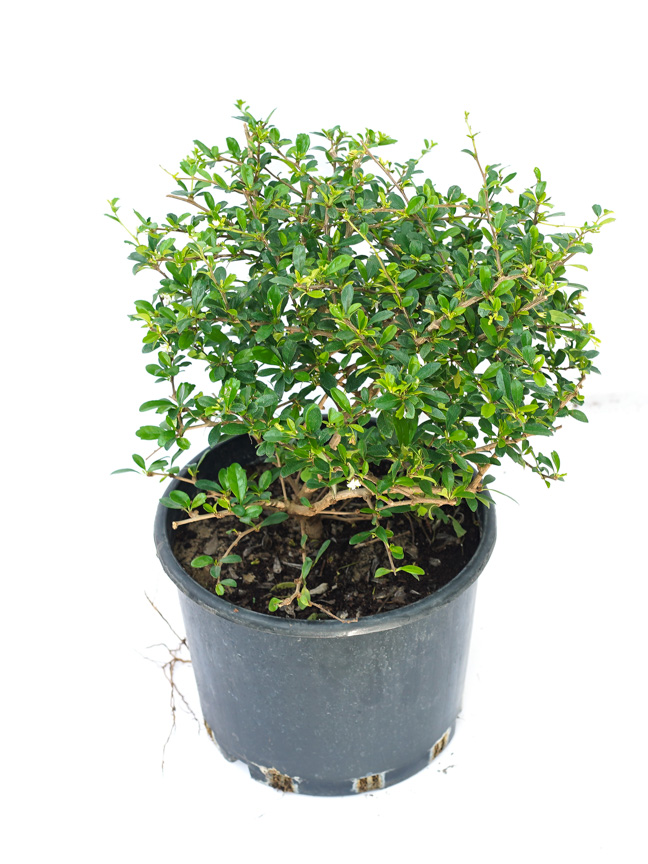 Carmona Round Bushy (Almazia)  Outdoor Plants Shrubs