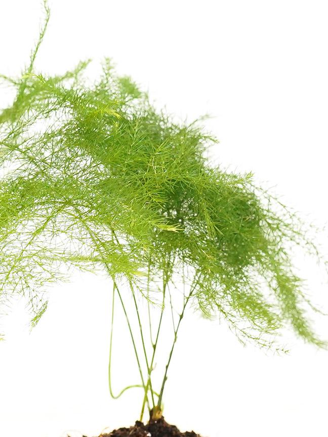 Asparagus Setaceus Plumosus Indoor Plants Shrubs