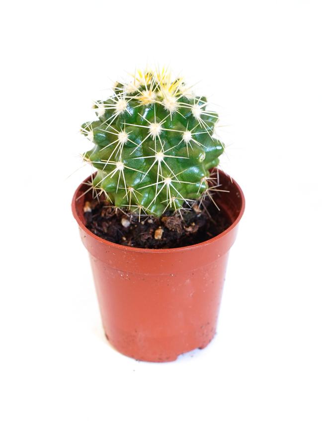 Echinocactus Grusonii Indoor Plants Succulent