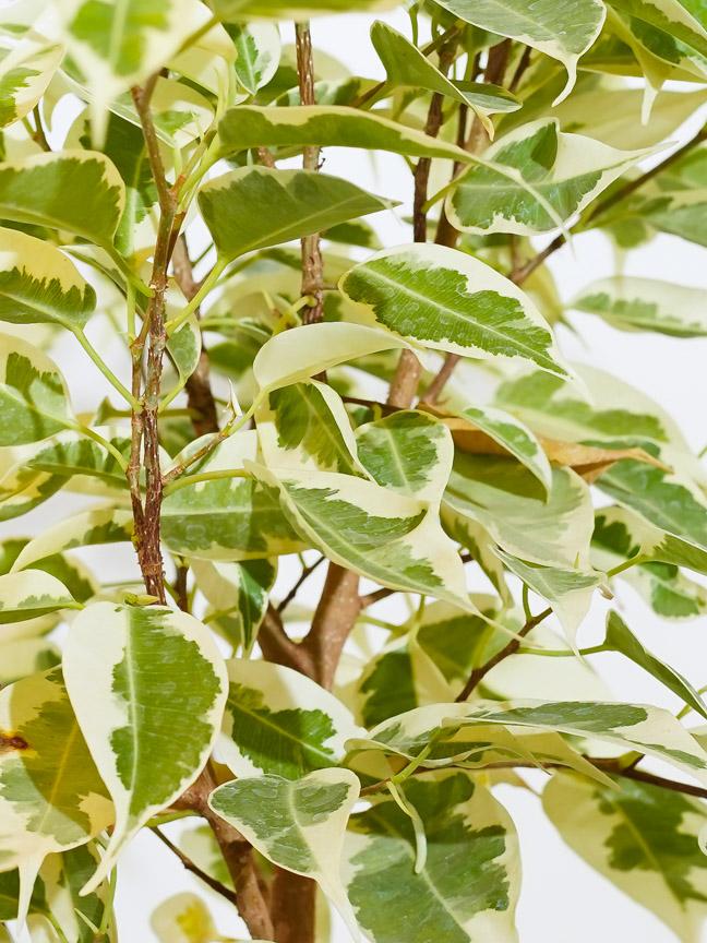 Ficus Benjamina Starlight Bushy Indoor Plants Trees