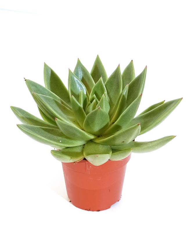 Echeveria Miranda 1 cutting Indoor Plants Succulent