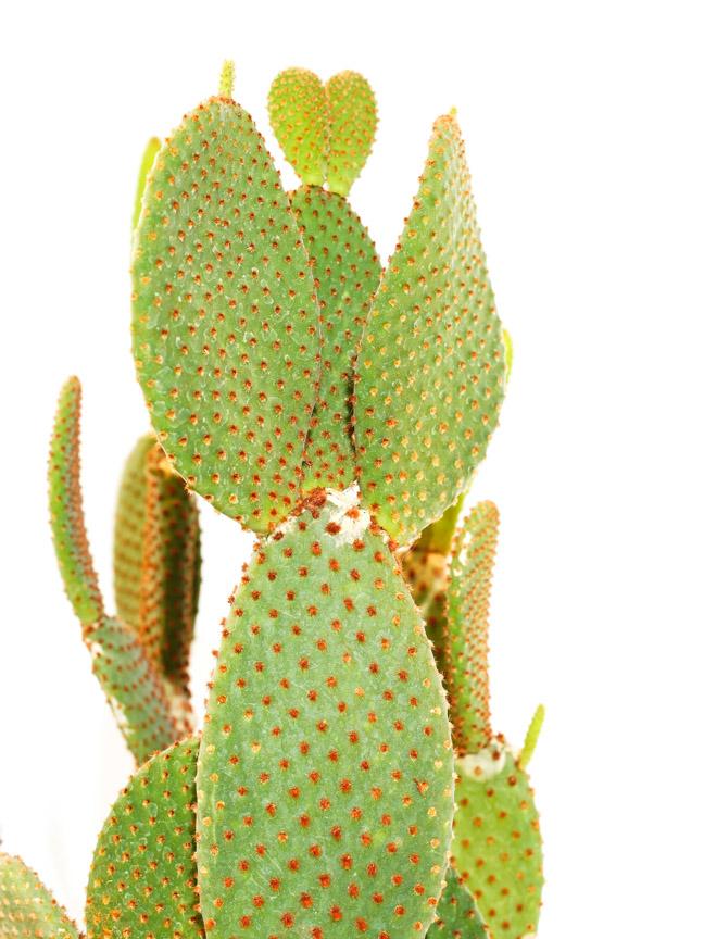 صبار أوبونتيا نباتات داخلية عصاري