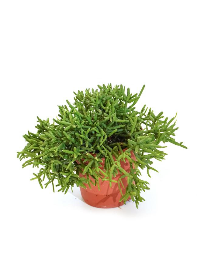 ريبسالس كاشيرو 'نباتات داخلية عصاري