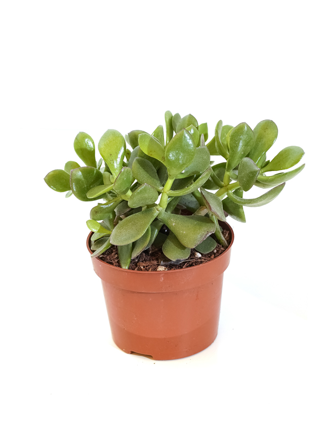Crassula magical Indoor Plants Succulent