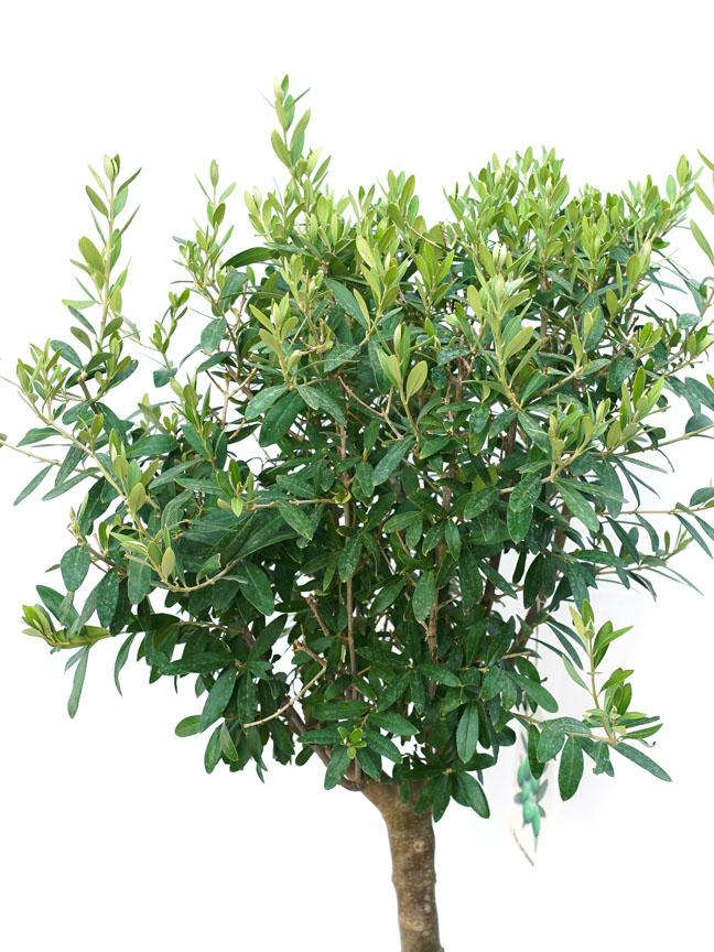 Olea Copa Stem Outdoor Plants Fruit Plants