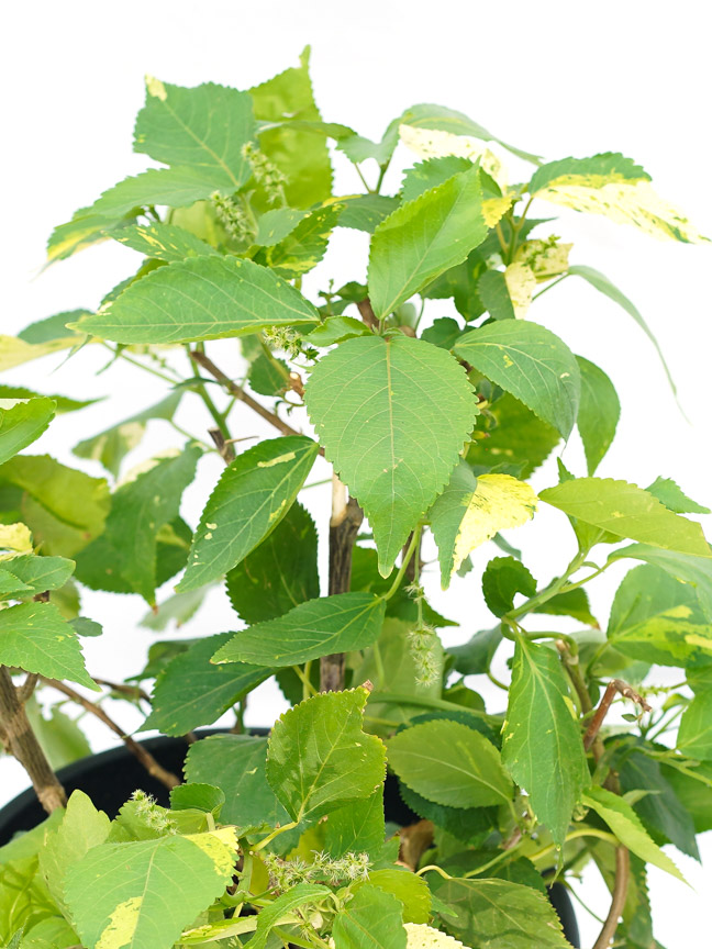 Acalypha Small Outdoor Plants Shrubs