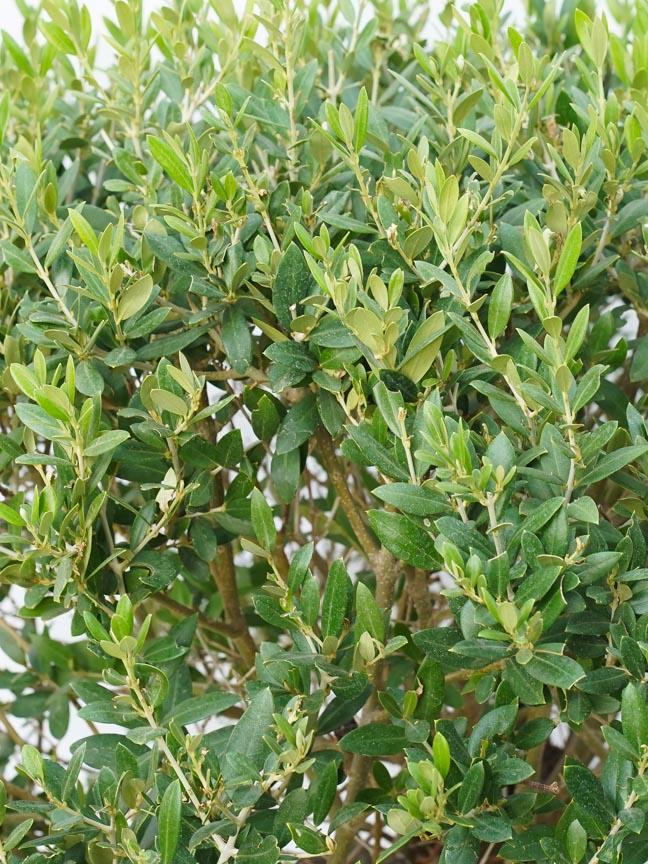Olea Europea 'Outdoor Plants Fruit Plants