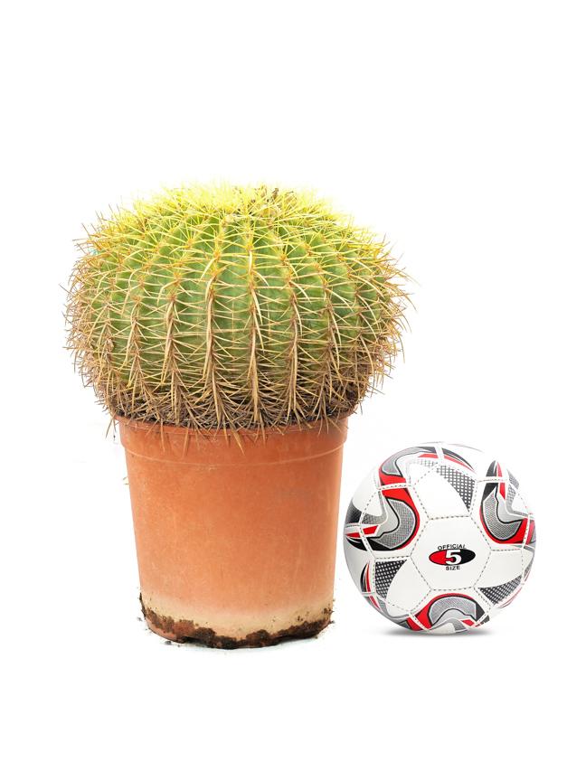 Echinocactus Outdoor Plants Succulent
