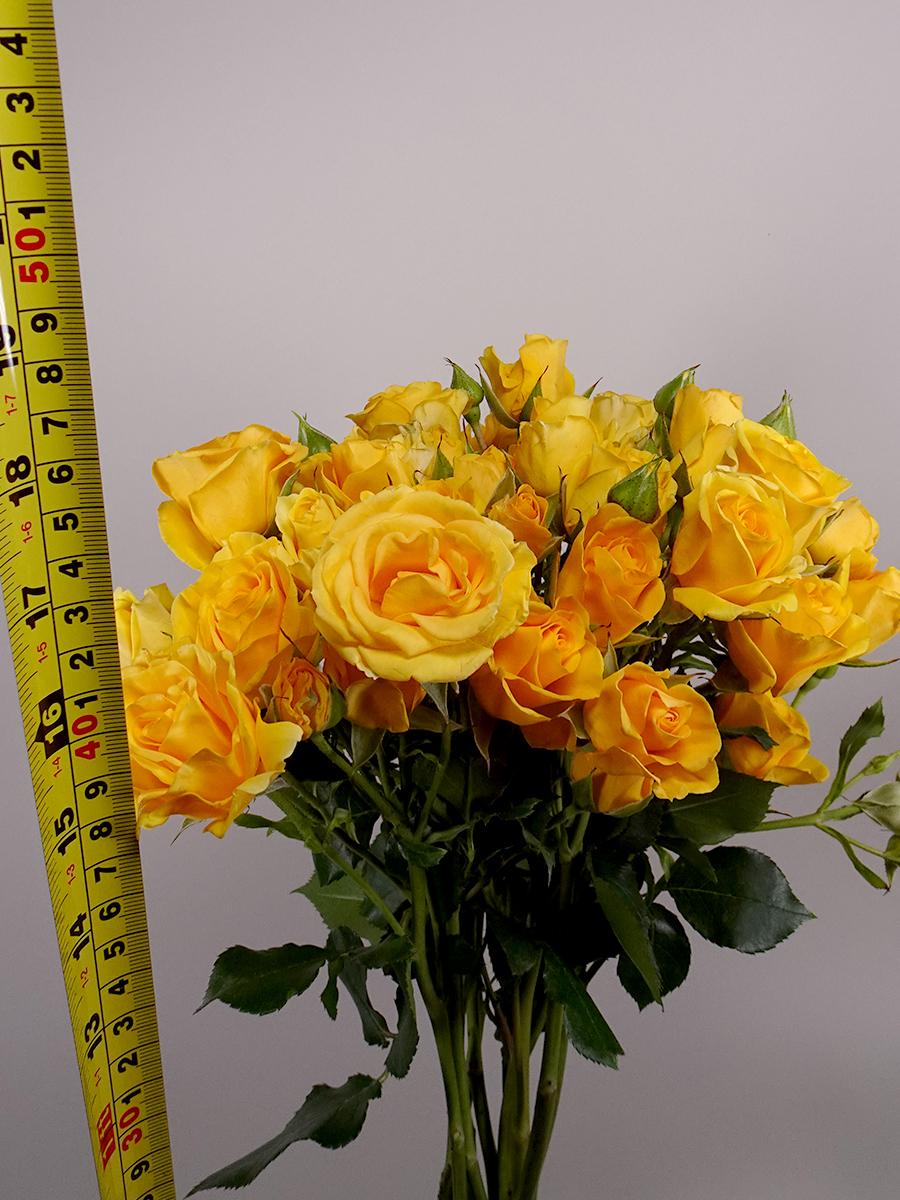 بيبي روز اصفر   الزهور بالجملة زهور مقطوفة