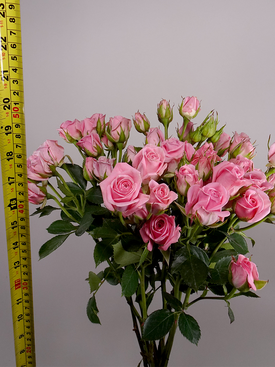 سبراي روز اوديلا - وردي فاتح   الزهور بالجملة زهور مقطوفة