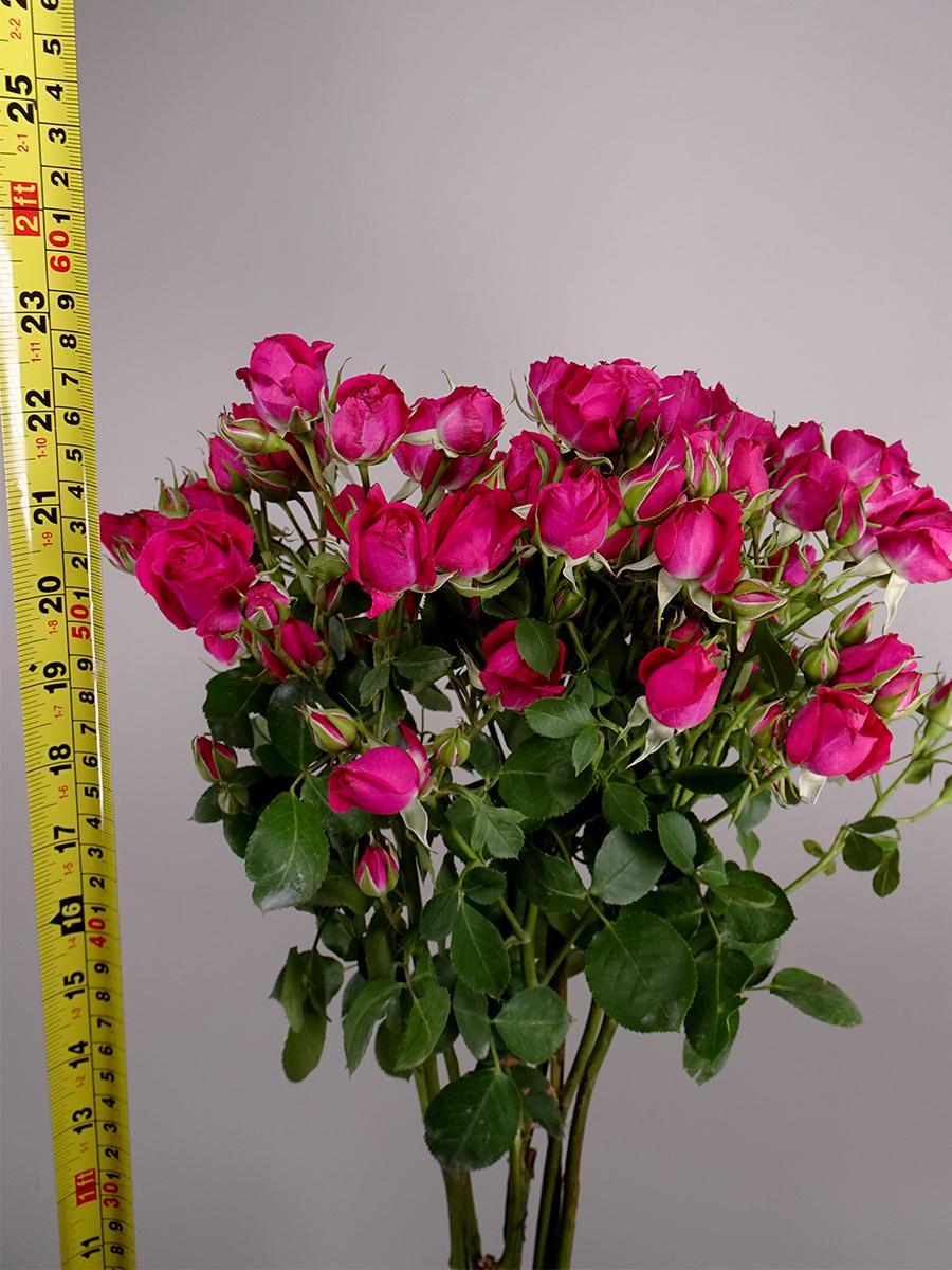 سبراي روز أليشا - فوشي   الزهور بالجملة زهور مقطوفة