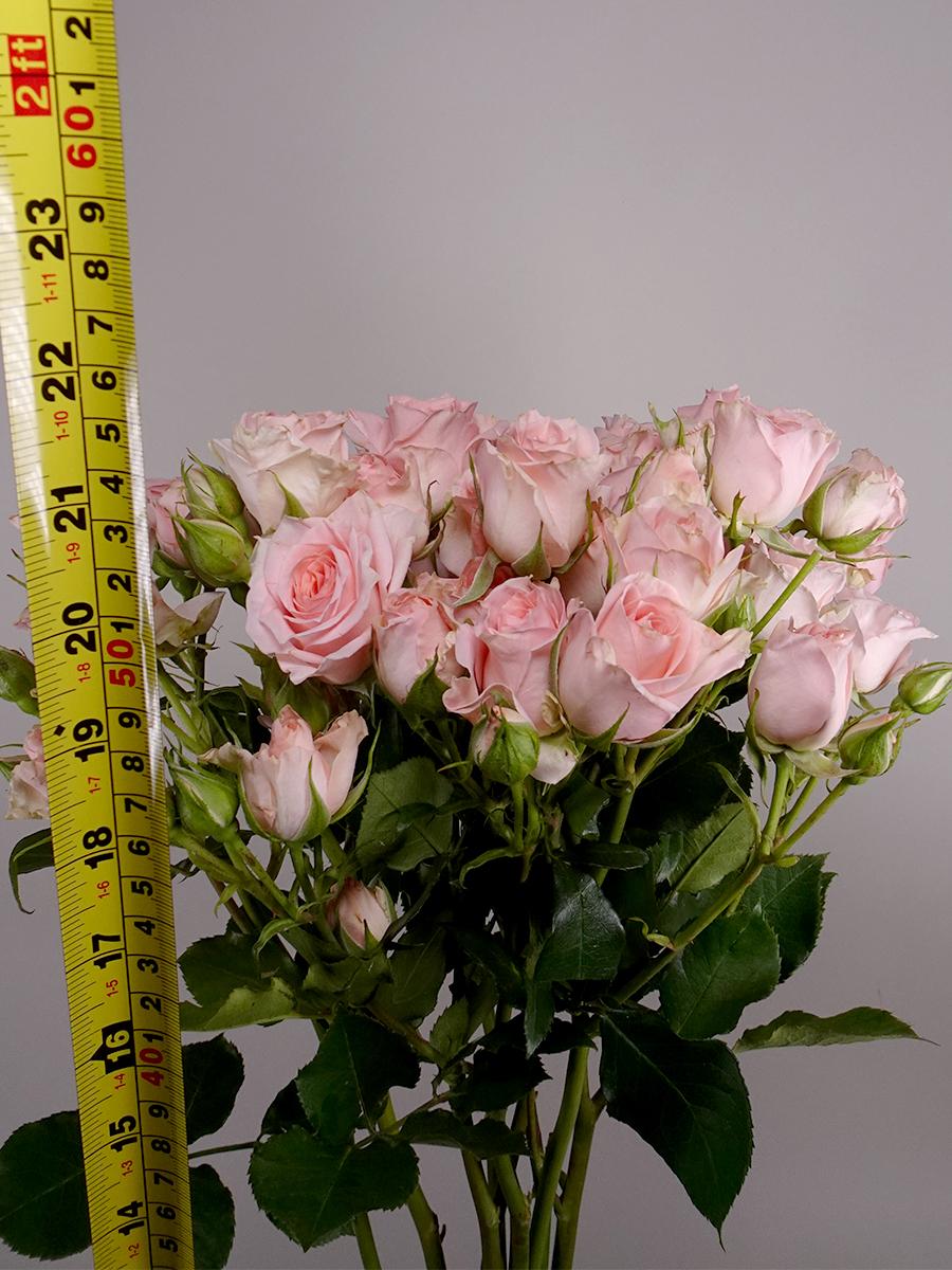 سبراي روز سويت سارة - وردي فاتح  الزهور بالجملة زهور مقطوفة