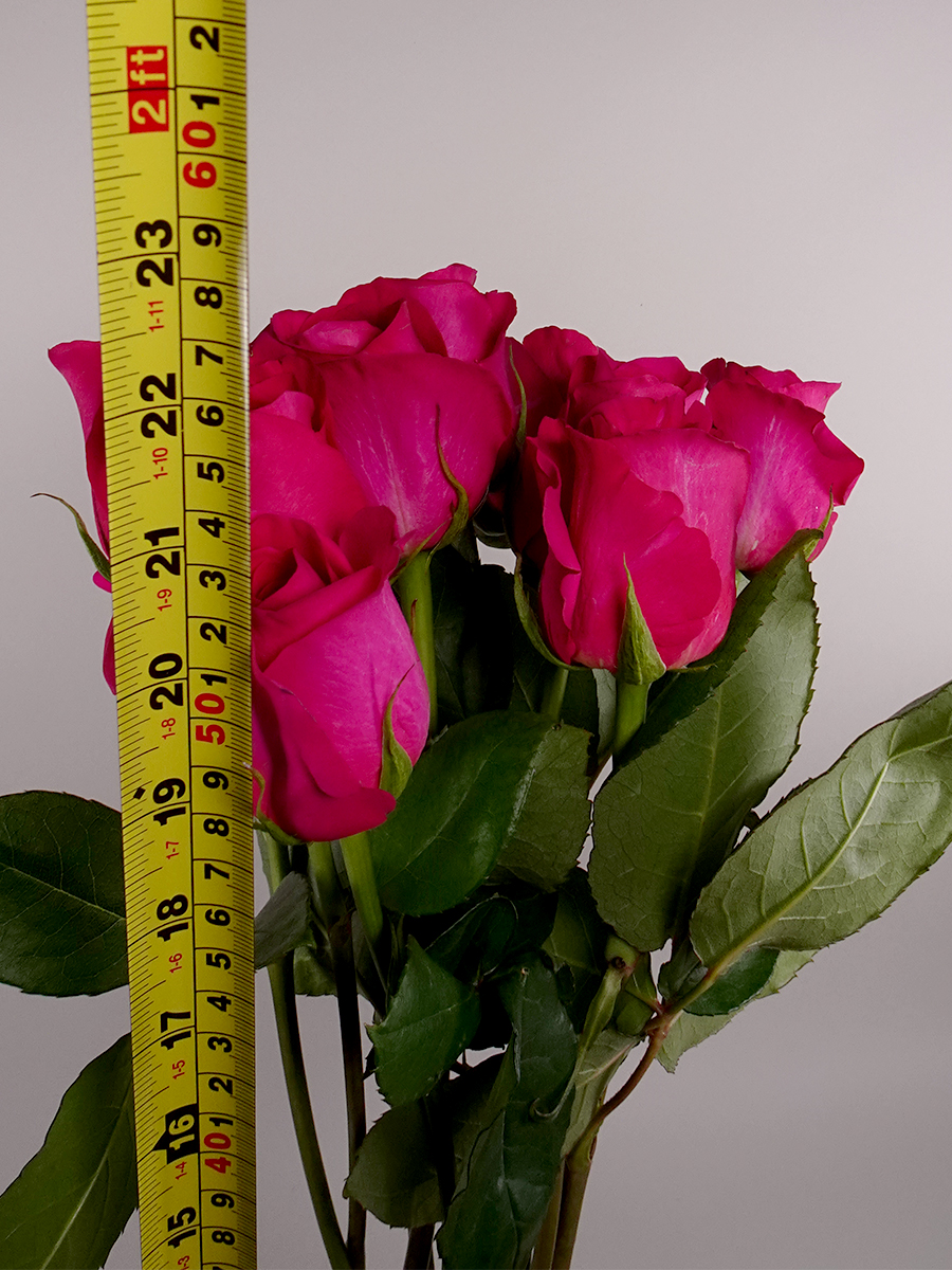 Memory Rose ( Fuchsia ) Wholesale Flowers Cut Flowers