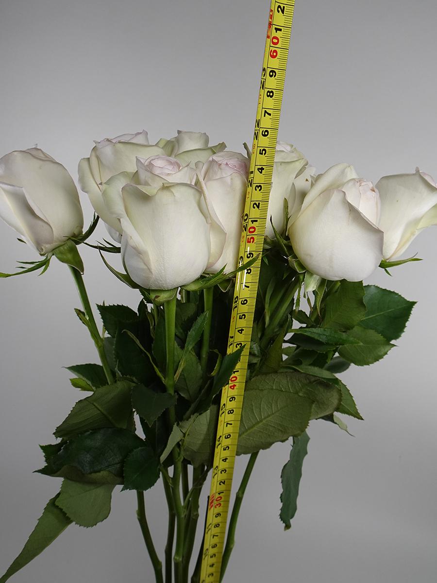 بولار ستار روز - كريمي   الزهور بالجملة زهور مقطوفة