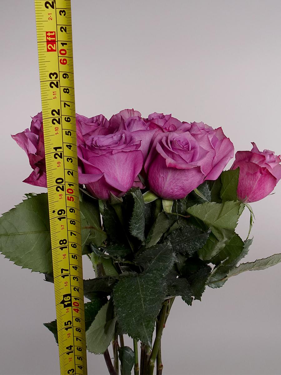 نيو اورلانس روز - بنفسجي  الزهور بالجملة زهور مقطوفة