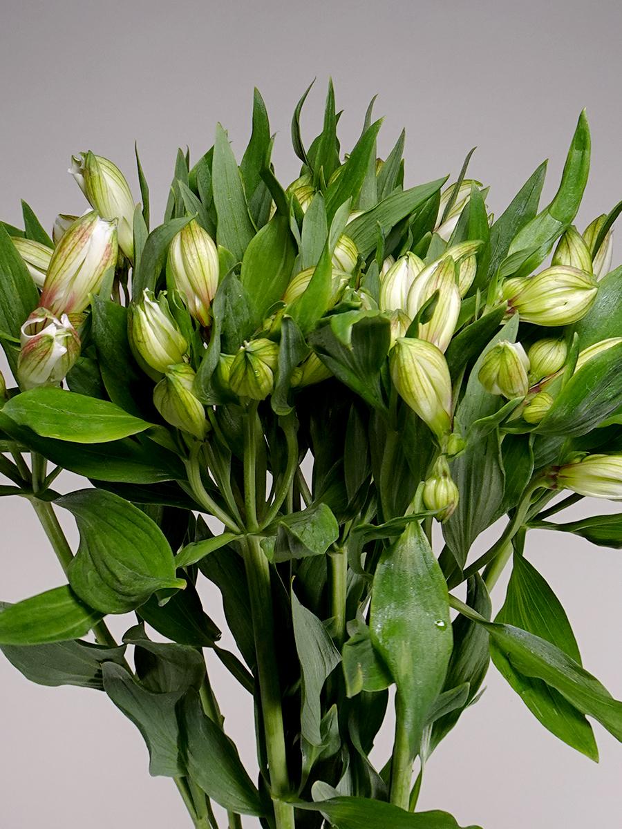 Alstomeria White Wholesale Flowers Cut Flowers