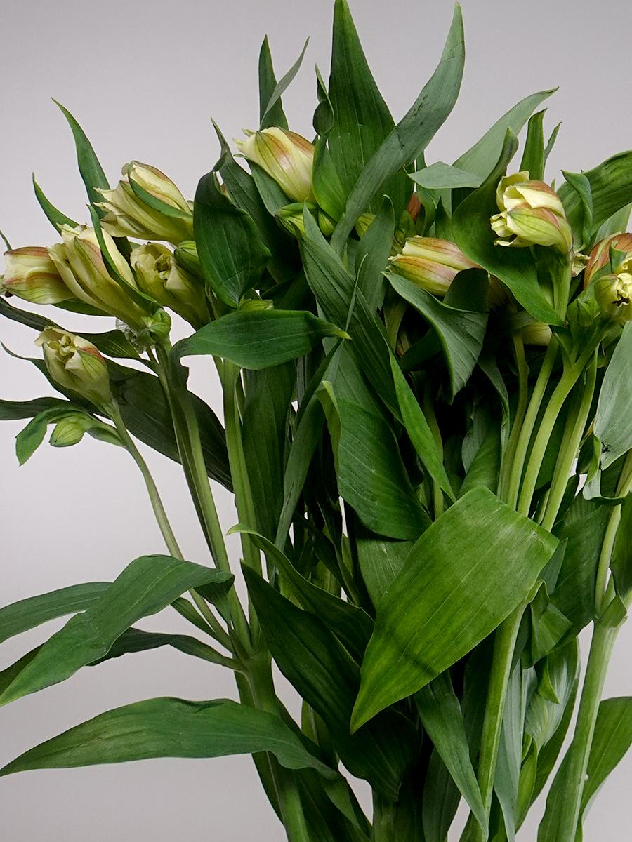 Alstomeria Yellow Wholesale Flowers Cut Flowers