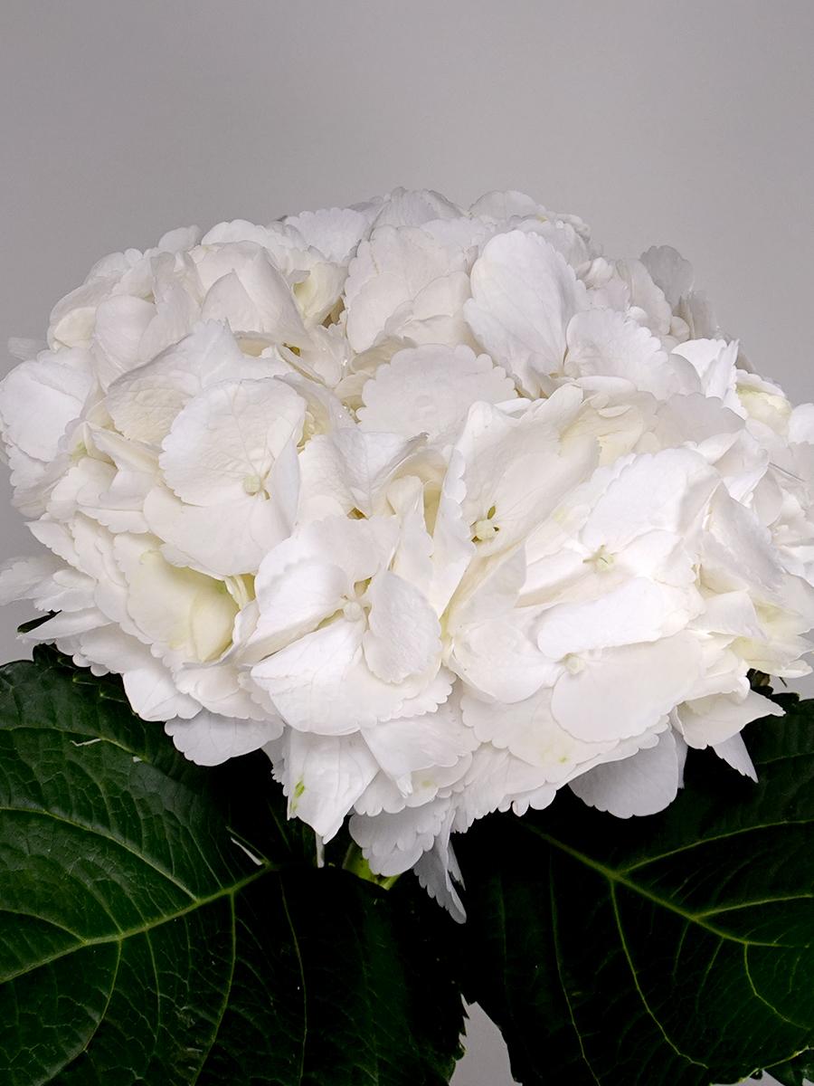 هايدرتنجيا - 4 ستيمز  الزهور بالجملة زهور مقطوفة