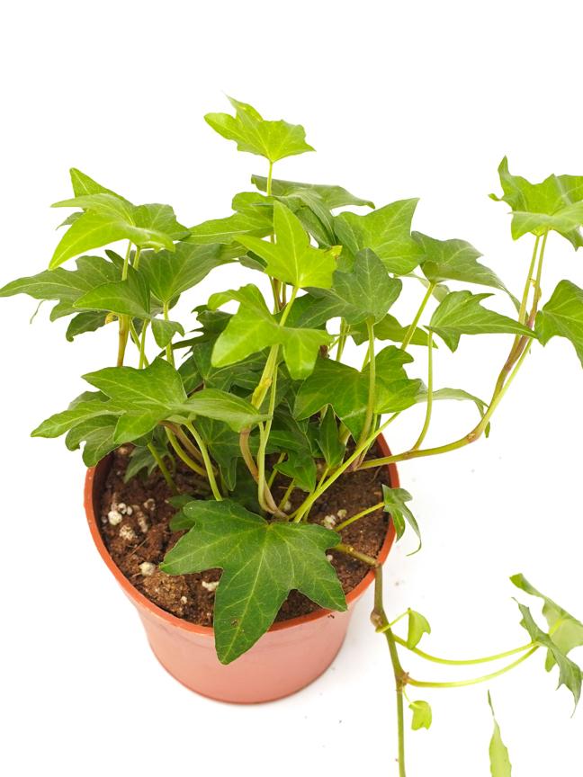 Hedera Helix Baby Mixed Indoor Plants Shrubs