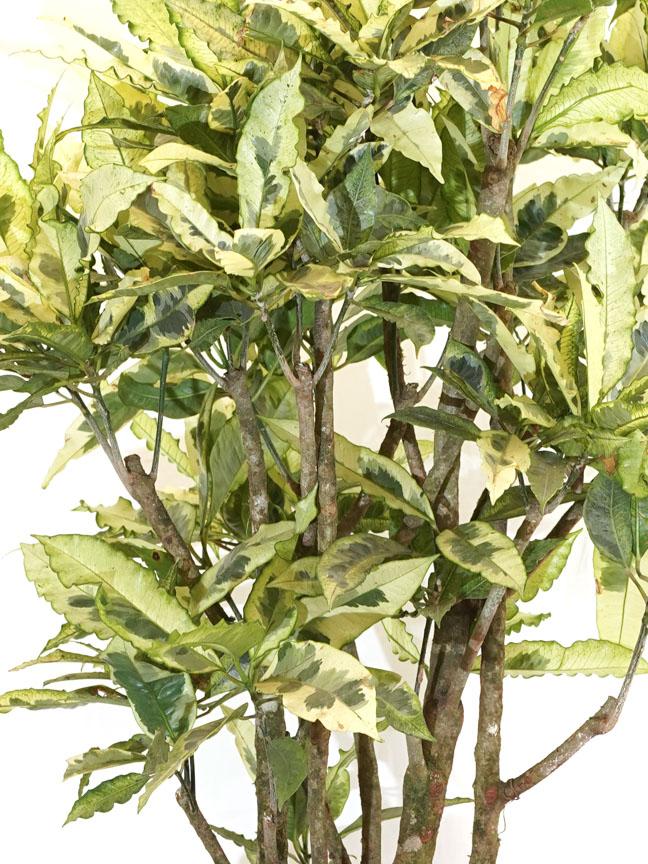 إبورنيوم أبيض , كوديوم , فاريجاتيوم نباتات داخلية شجيرات