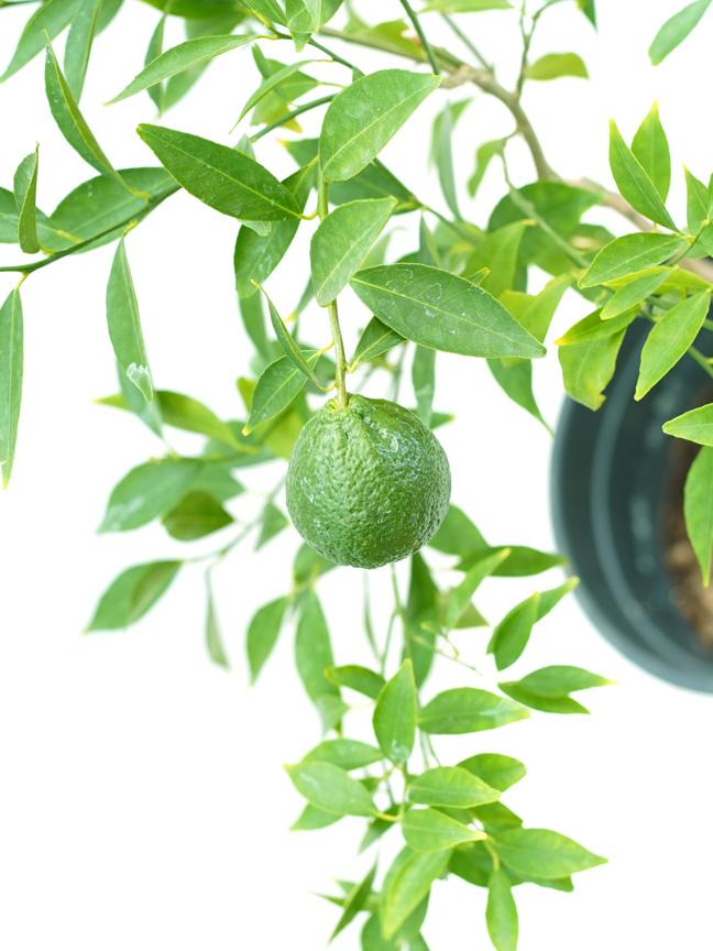Orange Mandarin Outdoor Plants Fruit Plants