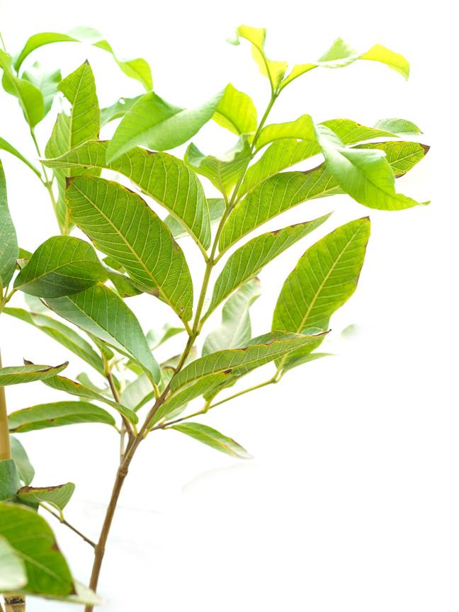 Guava 'Outdoor Plants Fruit Plants