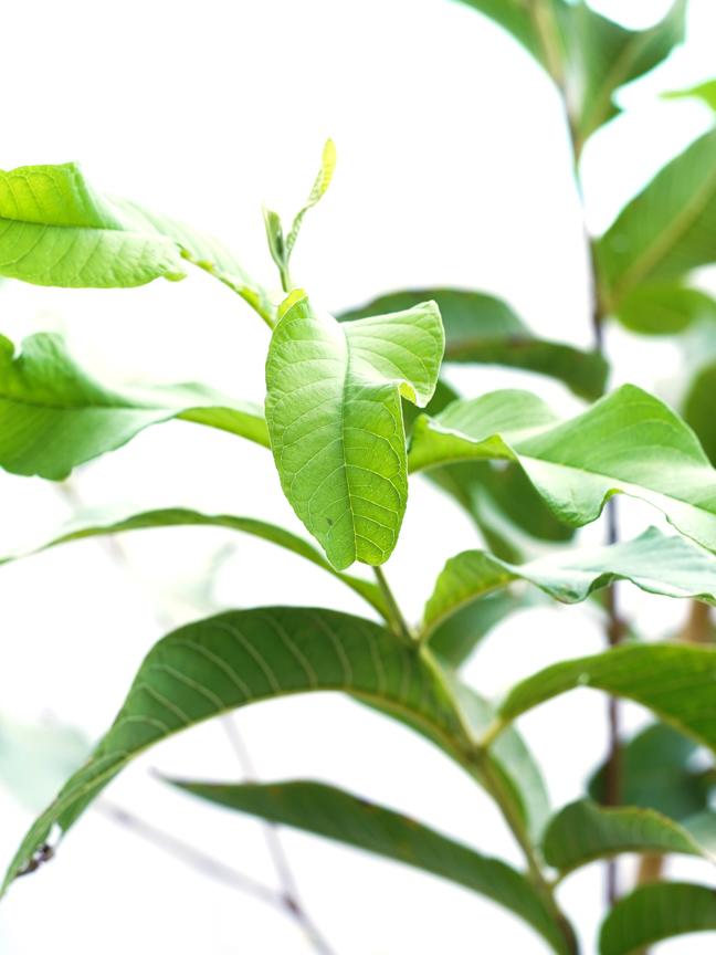 Orange Bu Sorah 'Outdoor Plants Fruit Plants