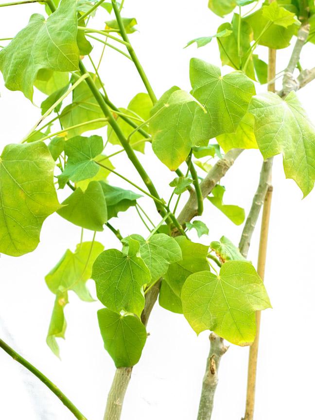 جاتروفا بتروليه 'نباتات خارجية النباتات المزهرة