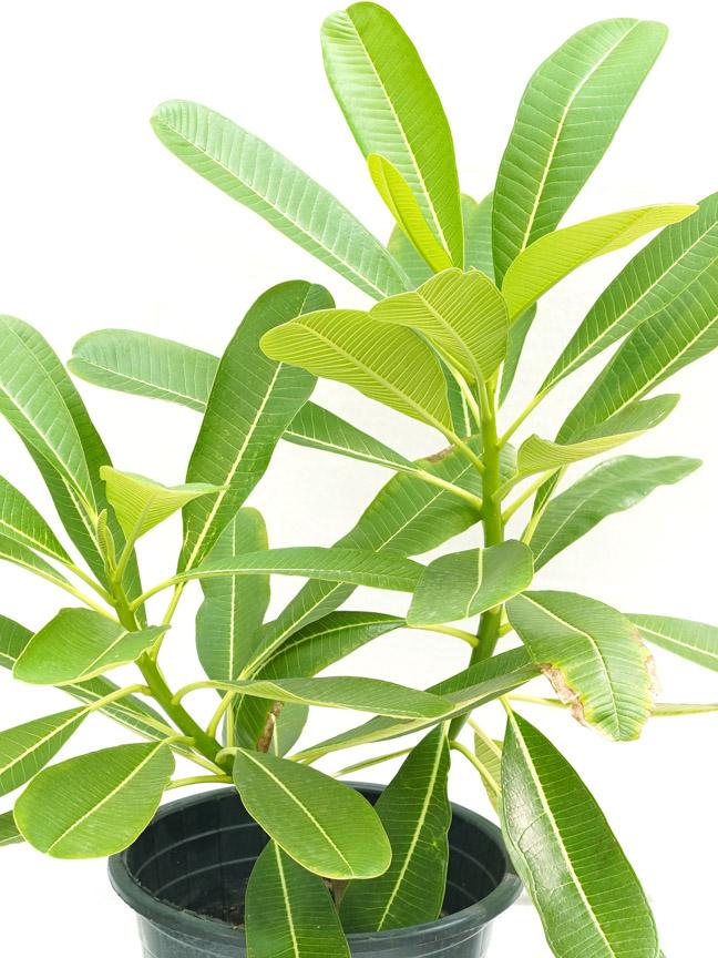 Plumeria P30 'Outdoor Plants Flowering Plants