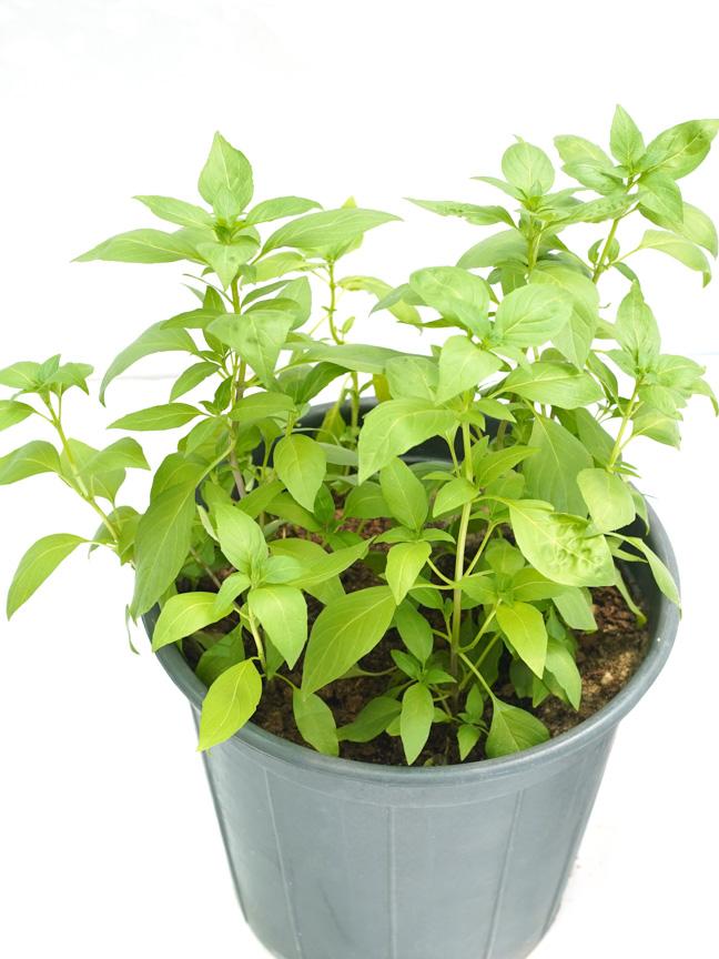 Basil Local (Mushmoom) SN 'Outdoor Plants Herbs