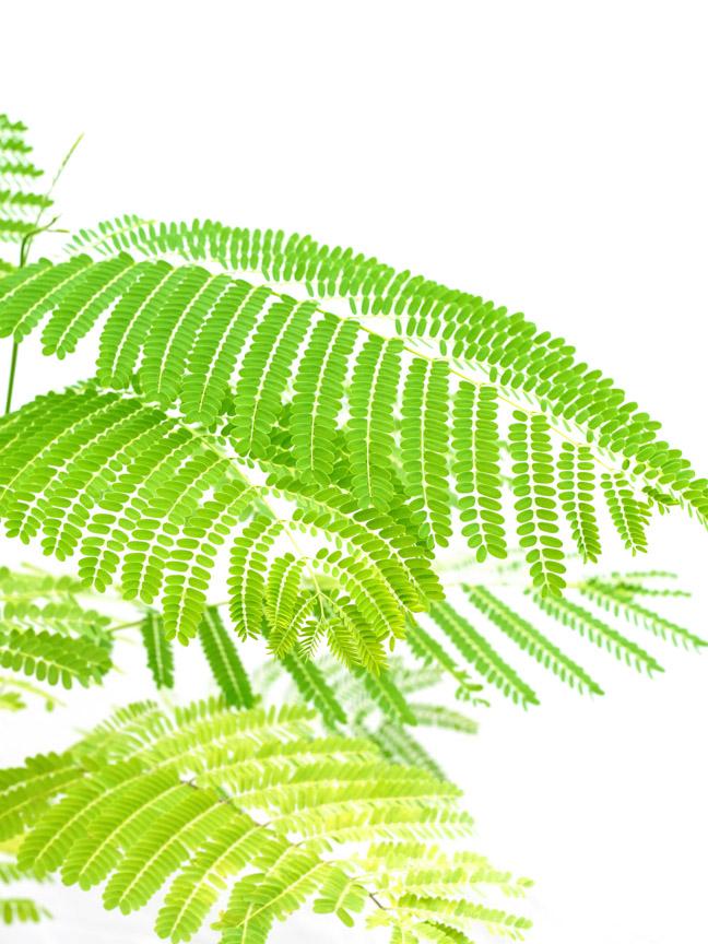 بونسيانا 'نباتات خارجية النباتات المزهرة