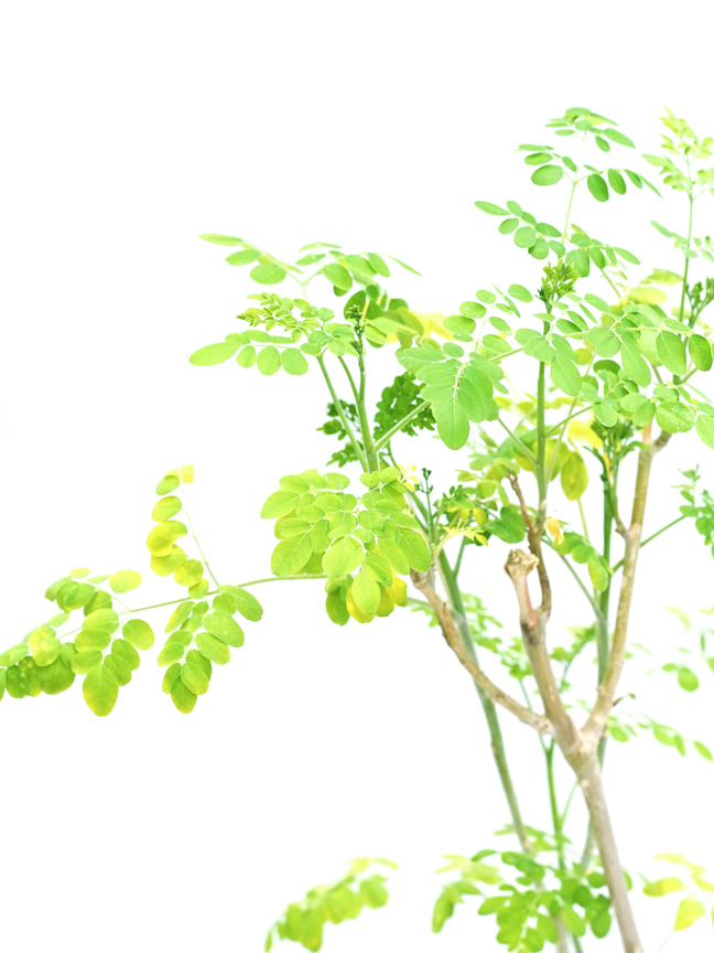 Moringa 'Outdoor Plants Shrubs