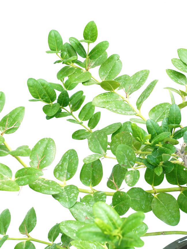 Carissia P30 'Outdoor Plants Trees