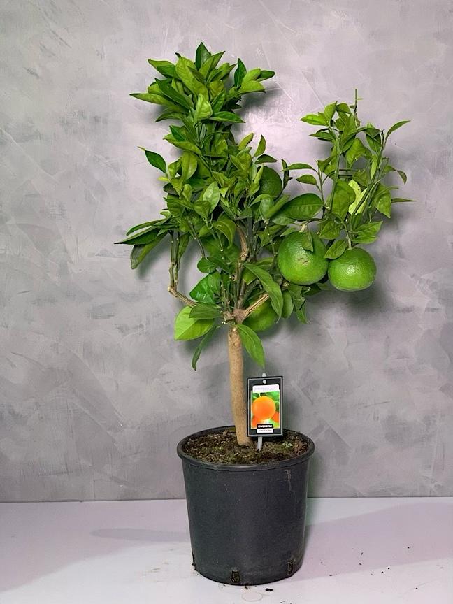 Grapefruit Citrus 'Indoor Plants Trees