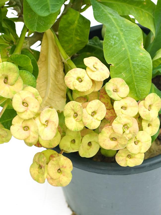 Euphorbia Milli Yellow 'Outdoor Plants Flowering Plants