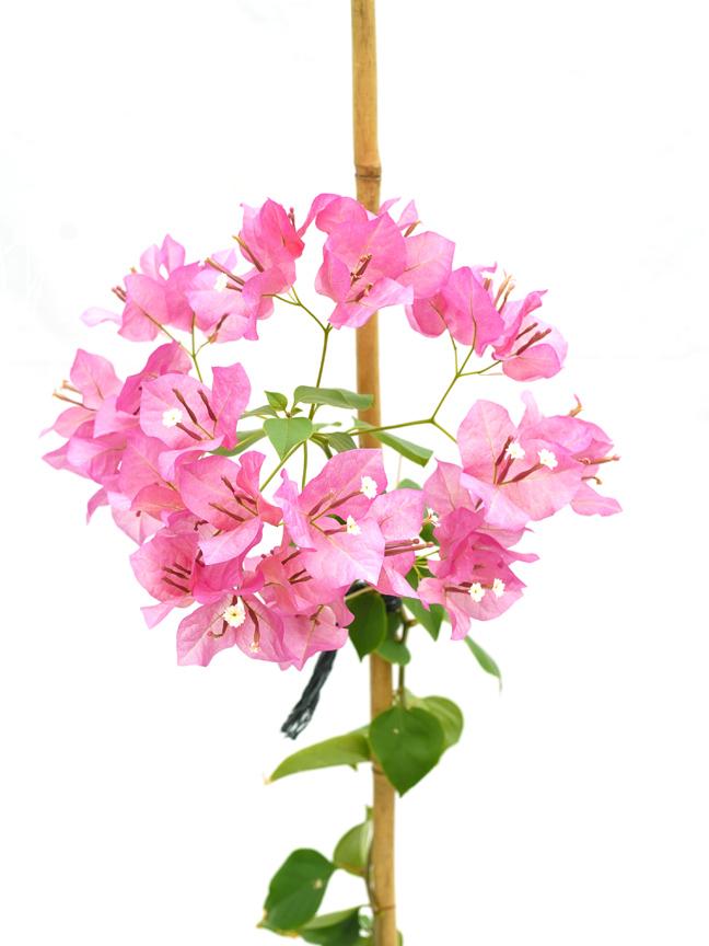 Bougainvillea Single Stem P18 Outdoor Plants Flowering Plants