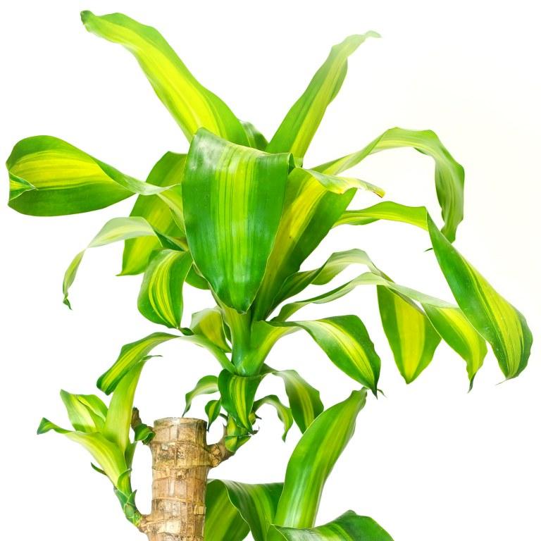 دراسينا 'نباتات داخلية شجيرات