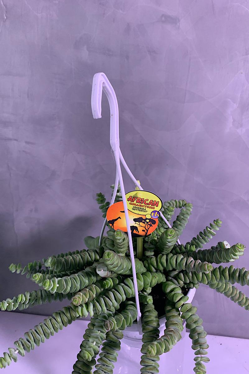 كروسولا المعلقة 'نباتات داخلية معلقة