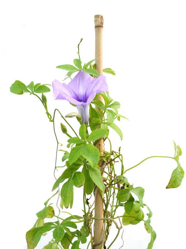 إبومويا بوربوريا نباتات خارجية النباتات المزهرة